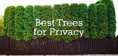 Looking for backyard privacy trees but aren't sure where to begin? Start by checking out the pros and cons of the top 10 best trees for privacy. Learn which trees work best for your backyard and privacy needs.