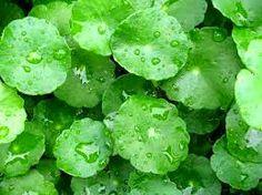 Khasiat Tanaman Obat Herbal : Cara Menghilangkan Keloid dengan Daun Pegagan (Centella asiatica)