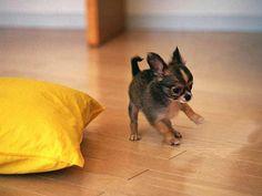 chihuahua-top-10-melhores-racas-de-cachorros-para-apartamentos