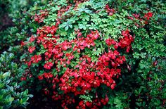 Flame Nasturtium or flame creeper. Perenial to 4m. Hardy and ok with shade. Purple berries after the flowers. Decidious.