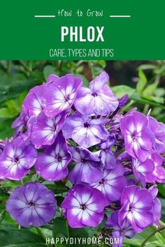 A perennial favorite. Phlox is a great choice if you want to add ground cover as well as floral color to your garden. The plant's star shaped flowers appear in pleasingly fragrant clusters, drawing attention to the flower bed. Taller varieties of the plant are also a great way to introduce height and soft structure to a flower bed or border. Tall Plants, Indoor Plants, Gardening For Beginners, Gardening Tips, Phlox Plant, Seed Pods, Flowers Perennials, Growing Flowers, Flower Beds