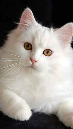 White cat White Kitty Cat Cats, , Pretty cats white cats for sale - Kittens Cute Cats And Kittens, Baby Cats, I Love Cats, Cool Cats, Kittens Cutest, Funny Kittens, Pretty Cats, Beautiful Cats, Animals Beautiful