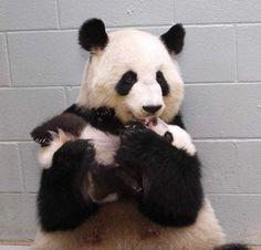 Reuzenpanda Lun Lun geef haar kleine Mei Lun ...