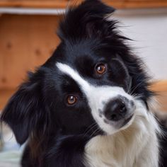 Border Collie missing my baby Skye