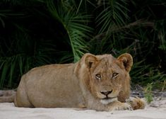 Sub-adult male lion from the River pride