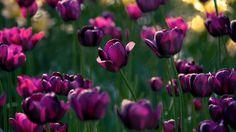 tulips… by Konstantin Vodolazov: Fine Art Photography http://alldayphotography.com