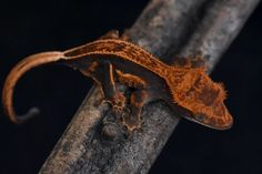 High-End Crested Geckos For Sale Crested Gecko, Red Panda, Geckos, Halloween, Animals, Animales, Animaux, Red Pandas, Animal