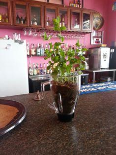 Reuse old blender for mint plant