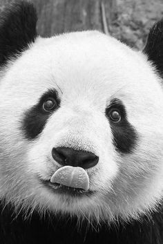 Sometimes it takes a picture of a panda licking his nose to make the day that much better. ;)