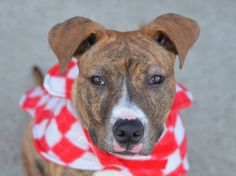 TO BE DESTROYED - 02/06/15 Brooklyn Center -P  My name is DAWSON. My Animal ID # is A1025920. I am a neutered male br brindle and white am pit bull ter mix. The shelter thinks I am about 7 MONTHS old.  I came in the shelter as a STRAY on 01/20/2015 from NY 11201, owner surrender reason stated was STRAY.