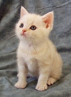 American Shorthairs are gentle cats who enjoy children and spending time with their human family. They are quiet, and usually get along well with dogs