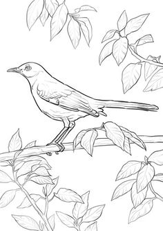 Northern Mockingbird Coloring Page From Category Select 20946 Printable Crafts Of Cartoons