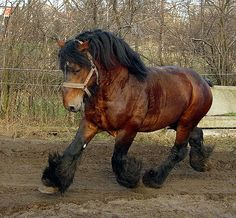 Heavy Horse Breeds - The Belgian Draught