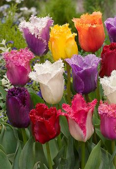 Ruffled Rainbows - great collection of tulips whose petals have frilled edges. I love these - so different for the spring garden