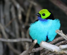 The Green Lantern of the Animal Kingdom – The Paradise Tanager | The Ark In Space