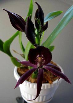 Epidendrum Cometa Negro