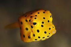 Blackspoted boxfish(Ostracion immaculatus)ハコフグ