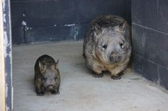 Taronga Zoo in Australia is celebrating the arrival of its second Southern Hairy-nosed Wombat joey in three years, a breeding success story that could also help the Critically Endangered Northern Hairy-nosed Wombat. Baby Wombat, Baby Zoo, Happy Animals, Cute Funny Animals, Funniest Animals, Zoo Animals, Wild Animals, Quokka, Australian Animals