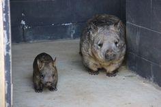 2 wombat