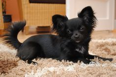 Black Long Hair Chihuahua