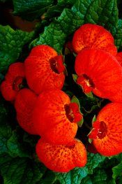 Pocketbook Plant Care Tips - Calceolaria herbeohybrida Pictures Kanna, Wonderful Flowers, Unusual Plants, Exotic Flowers, Plant Care, Houseplants, Pouches, Indoor Plants, Planting Flowers