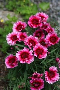 103 best perennials i want images on pinterest beautiful flowers dianthus perennial flowers clove pinks sweet williams mightylinksfo