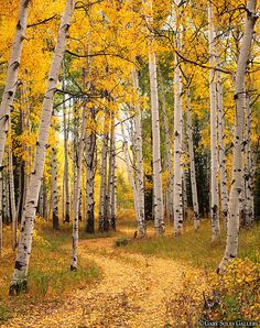 Gary Soles Gallery located in beautiful Breckenridge, Colorado 80424 - displaying the photographic works of Gary Soles Nature Images, Nature Pictures, Birch Tree Art, Autumn Scenes, Aspen Trees, Walk In The Woods, Fall Pictures, Mountain Landscape, Image Hd