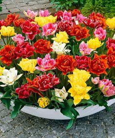 Teltvirágú, korai Tulipán válogatás | Virághagyma | Bakker Holland Kft.