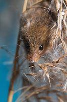 Harvest Mouse   Naturfoto Frank Hecker