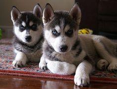 Gorgeous Husky Puppies