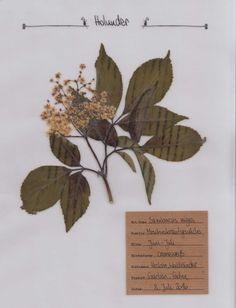 Herbarium | Natur | Pinterest | Herb garden, Flowers und ...