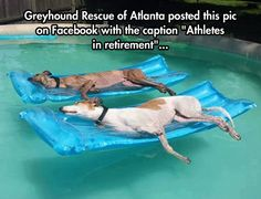 Greyhounds Enjoying the Good Life