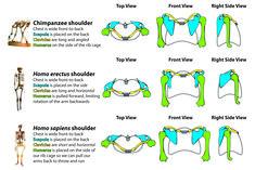 primate shoulders - Google Search