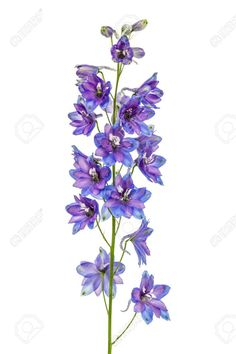 Flower of Delphinium (Larkspur), isolated on white background photo by kostiuchenko on Envato Elements Larkspur Flower Tattoos, Purple Flower Tattoos, Purple Flowers, Delphinium Tattoo, Gladiolus Tattoo, Lila Tattoos, Tattoo Background, Stock Flower, Bloom Blossom