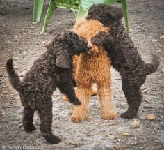 Guess who?  Fun with the doodles!   Chocolate Australian labradoodle puppies playing with our mini red Australian labradoodle Miss. Clairol.