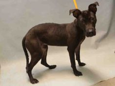06/29/2016 SUPER URGENT ADOPT DOG AQUAMARINE – TO BE DESTROYED Brooklyn Center NYC - A1078228  FEMALE, BLACK / WHITE, AM PIT BULL TER MIX, healthy dog so most likely a lost unclaimed pet, found as a STRAY but allowed all handling. Intake condition EXAM REQUIRED URGENTLY to determine health and temperament before adoption can take place. Intake Date 06/20/2016, From NY 11208, past Due Out Date 06/23/2016.