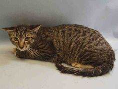 BABY KILLED BY ACC - 08/05/15 - PARFAIT - #A1046093 - - Manhattan  ***TO BE DESTROYED 08/05/15*** SWEET AND YUMMY,PARFAIT IS QUITE A TREAT! This 6 month old male was brought in as a stray after the finder found him in their yard.