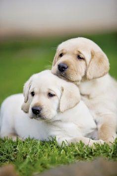 Two Amazing Cute  Labrador Retriever puppy