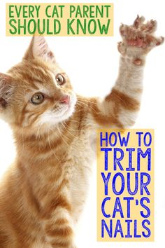 All cats, especially indoor kitties, should have their claws cut regularly to avoid injury. Trimming your cat's nails for the first time can be a little tricky, so it's important that you don't plu