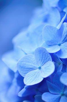 drxgonfly: I like blue (by Wallpaper HD Light Blue Aesthetic, Blue Aesthetic Pastel, Blue Wallpapers, Pretty Wallpapers, Blue Pictures, Pretty Pictures, Blue Roses, Blue Flowers, Blue Hydrangea