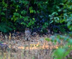 Wildlife and Wildlife Photography: Wildlife and Wildlife Photography - Brown Fish Owl...