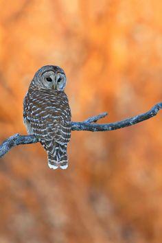 Barred owl by Denis Dumoulin Pigeon, Nocturnal Birds, Tawny Owl, Barred Owl, Great Grey Owl, Beautiful Owl, Beautiful Things, Big Bird, Birds Of Prey
