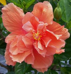 Jane Cowl Hibiscus - double peach blooms. Used as an accent plant or in containers. Zones 10-11