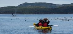 Venture into Killer Whale Territory and Kayak British Columbia at Wildcoast's Orca Camp on Vancouver Island. All Inclusive Premier Kayak Vacation!