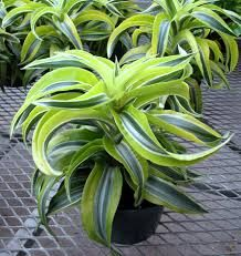 Dracaena deremensis janet craig new plants pinterest plants and orchid plants - Cool office plants ...