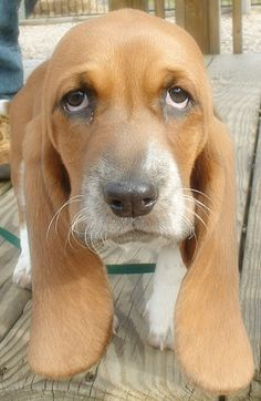 Basset Hound Puppy....what a face....
