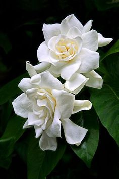 Gardenias, one of my favorite flowers