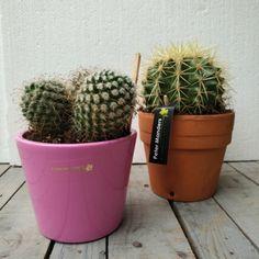 #cactus #schoonmoedersstoel  www.petermanders.nl #Lemmer