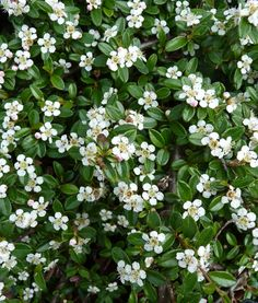 Cotoneaster dammeri Cottage Garden Plants, Water Wise, Outside Living, Fall Plants, Small Trees, Myrtle, Shrubs, Flora, Gardening