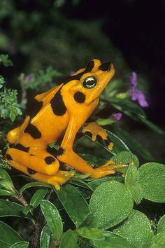 ☆ Golden Frog, Atelopus zeteki, Panama :¦: Gail Melville Shumway Photography ☆